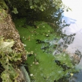 Blue Green Algae at Grovelands Park Enfield 2 Aug 2012. Caused by phosphate and nitrate pollution