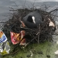 coot-nesting-in-rubbish