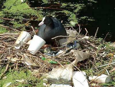 Coot's nest unfortunately decorated with litter.