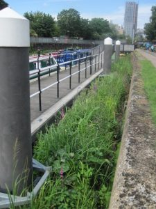 After: Today the reedbed flourishes on the River Lea