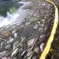 dead-fish-in-the-olympic-park-1